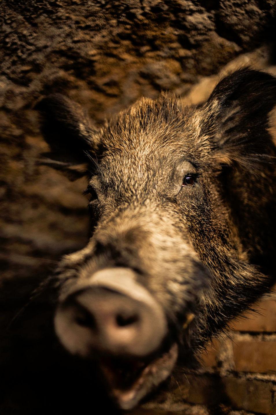 Wildschweinkopf - Fred