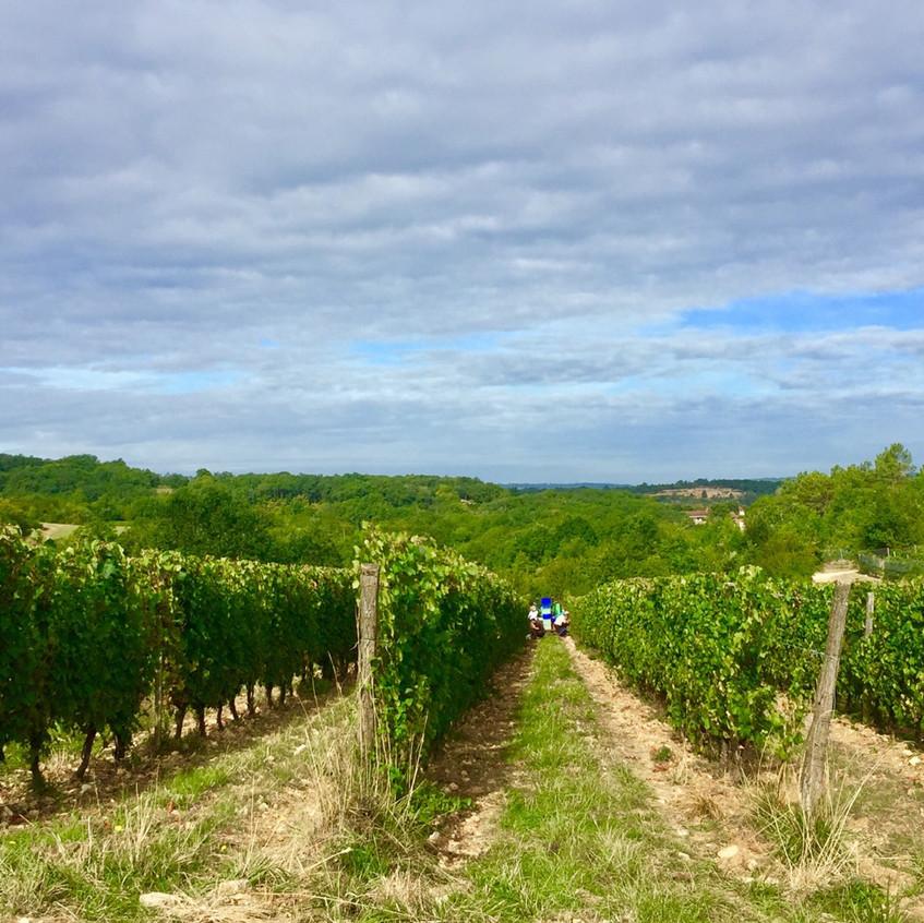 Vineyard at Domaine de Lasfargues