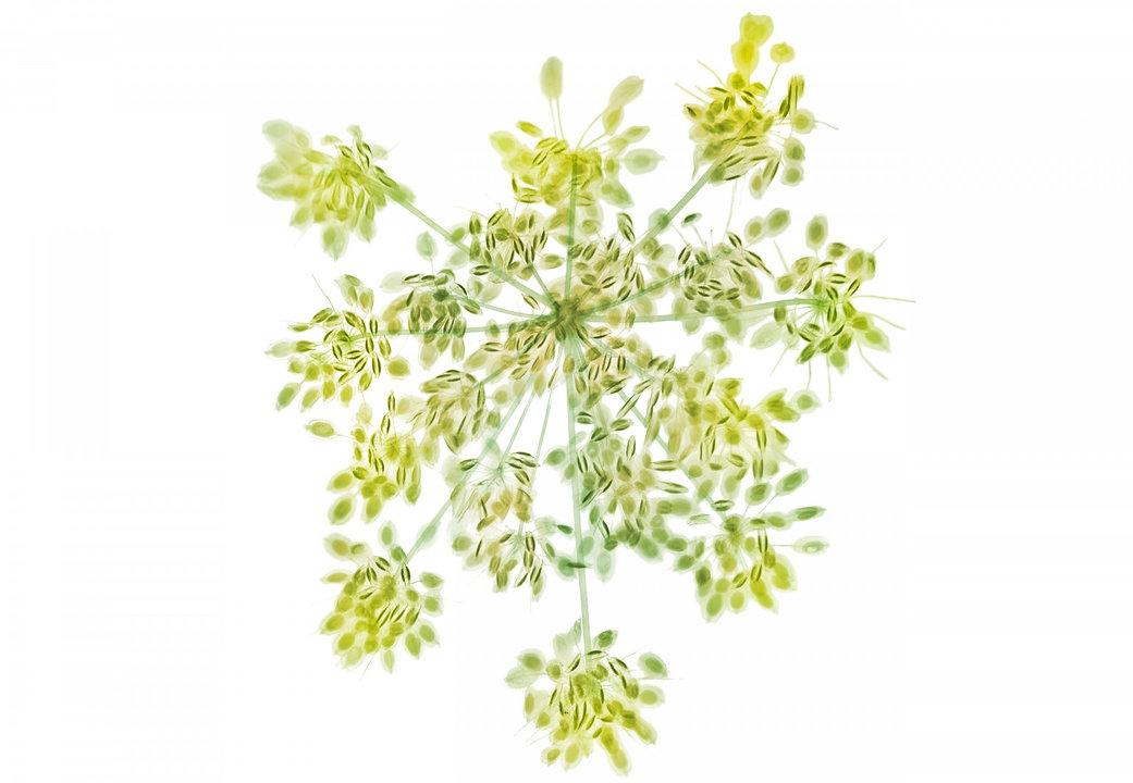 cow-parsley-01-768x531@2x.jpg