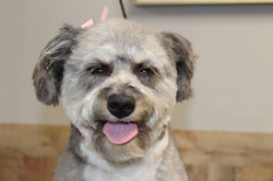 Miss Kia is a sweet little mini aussiedoodle that is loving her time here at Tiny Tails