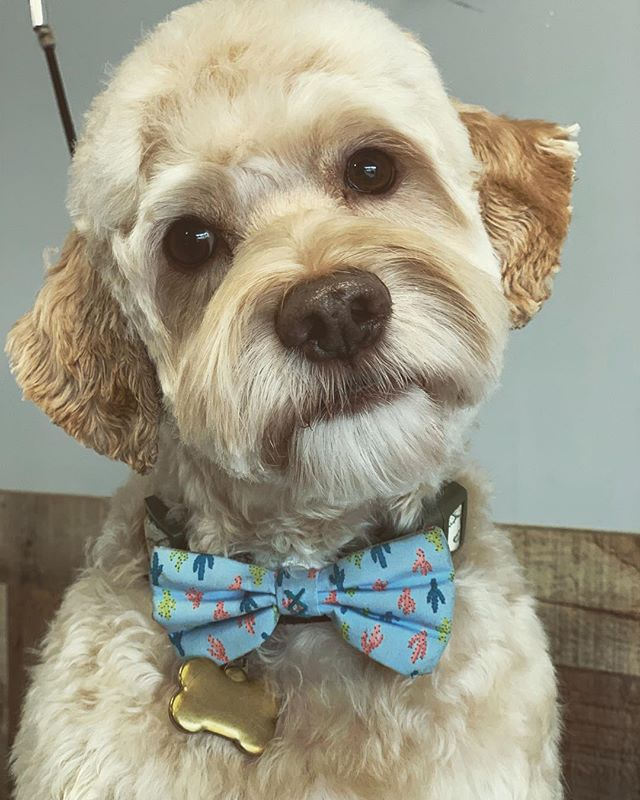 Woody The Cockapoo