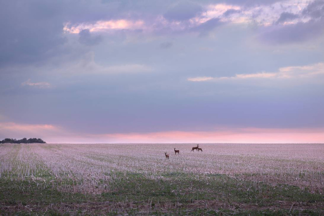 does_in_a_field_by_smooth_pink_light_of_