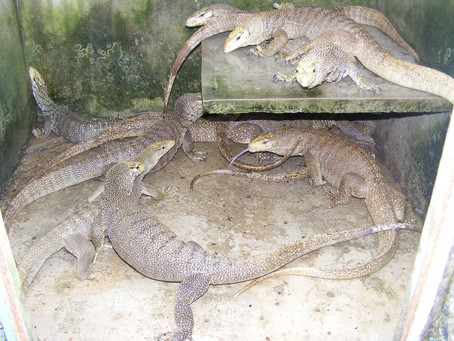 The story of reptile farming