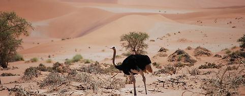 Namibie - autruche.jpg