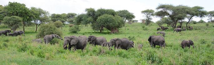 Tarangire elephants.jpg