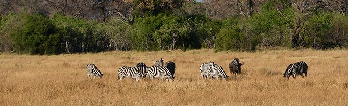 Botswana-zèbres.JPG