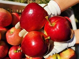 la raccolta delle mele di Azienda Agrico