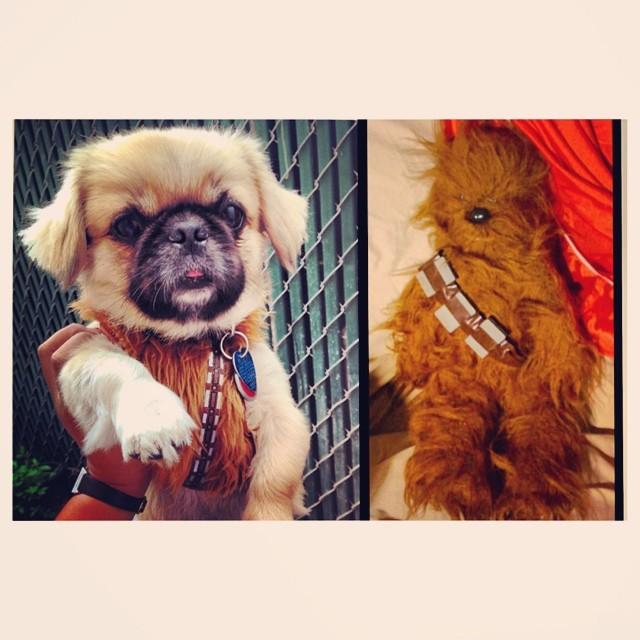 Rusty vs Chewbacca #scroozetoys#starwars#chewbacca#petco#dogs