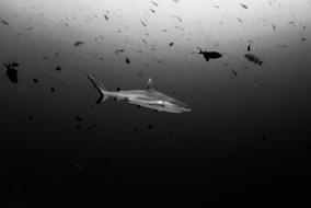 Requin gris en noir et blanc
