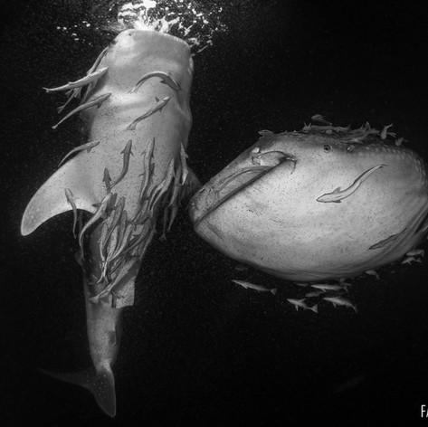 Requins baleines à l'arrière du bateau le soir