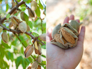Almonds: The Healthful Nut