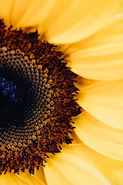 macro-photography-of-a-sunflower-4622893