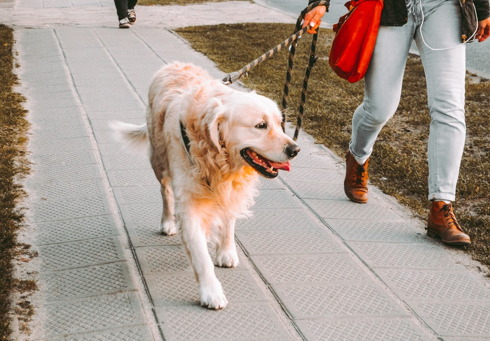 person walking beside golden retriever on the street