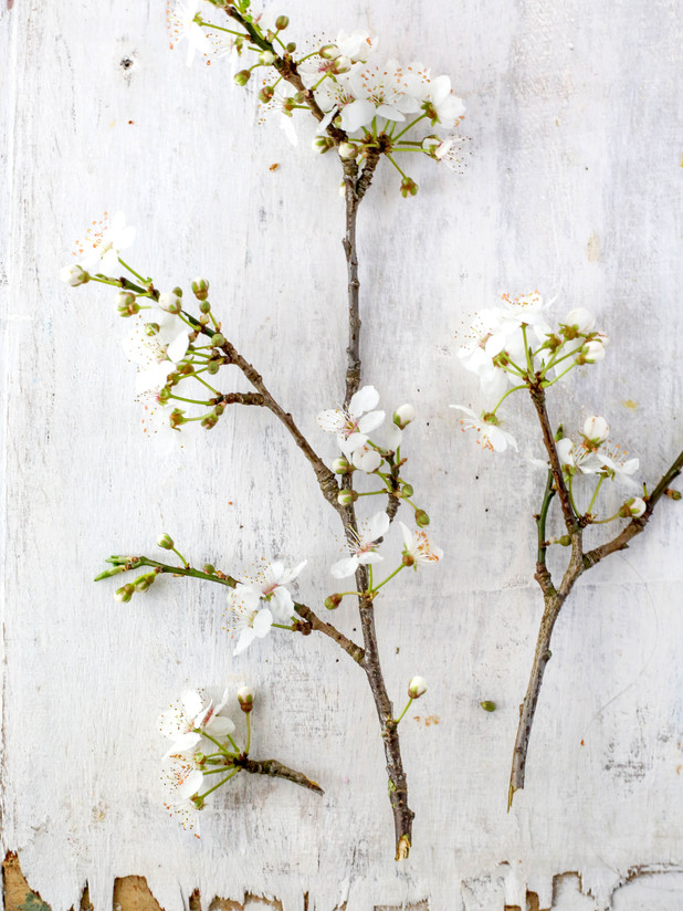 Cherry Blossom 2 copy.jpg