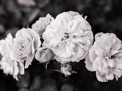 Roses Print, Black and White