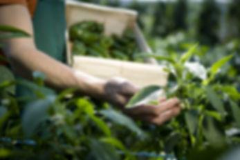 organik, iyi tarım, küçük yerel çiftciler