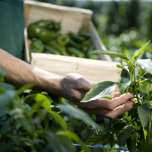Horta de Pimentão, legumes