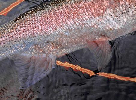 Rainbow trout of Hokkaido