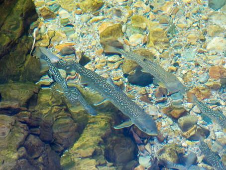 Winter Flyfishing aroud Niseko Area.