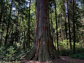 trunksequoia.jpg