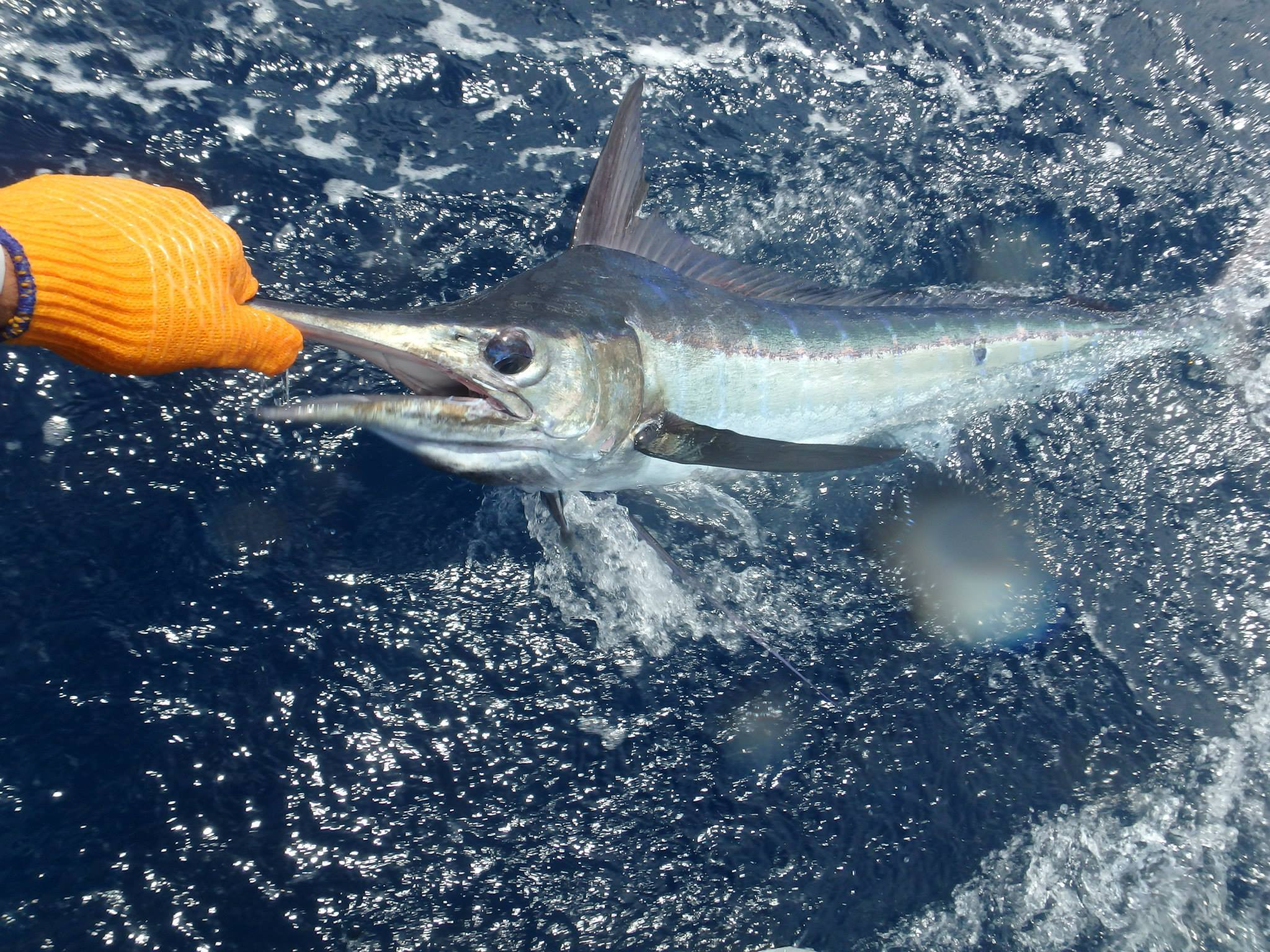Blue Marlin Barbados with Reel Crazy