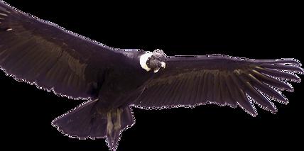 125-1250961_andean-condor-animales-de-co