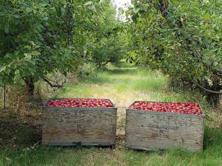 Fresh-picked Red Gravenstein Apples