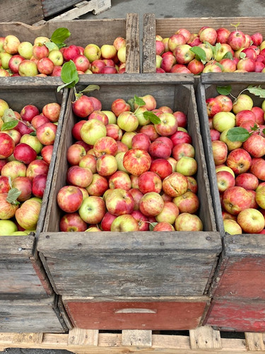 Gravenstein Apples in 10 Boxes 200816 sm