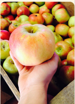 Apple Harvest in Hand