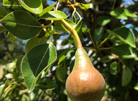 Pears are Getting Bigger