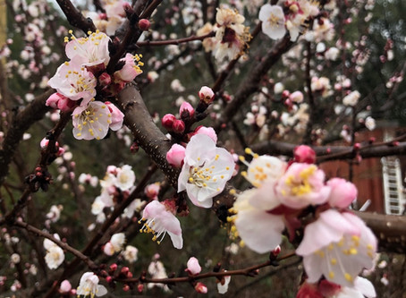 Blossoming Apricot Tree Leads the March to Spring!