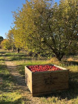 Apple Orchard Harvest Bin Road 191011 sm