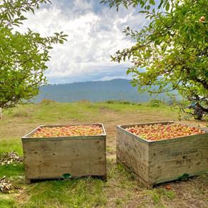 Gowan's 144th Apple Harvest Begins with Gravenstein Apples