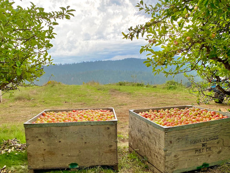 Gowan's 144th Apple Harvest Begins with Gravenstein Apples
