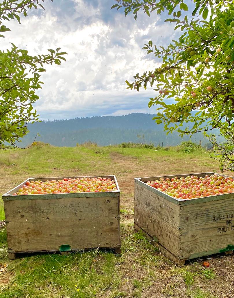 Gravenstein Apple Bins in MV Orchard sm.