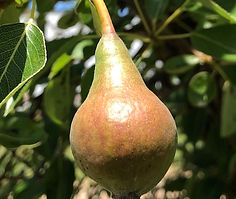 Bartlet Pear in June 2019 sm_edited.jpg