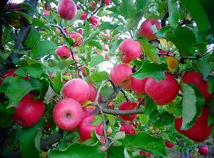 Harvest at Gowans Family Orchards 4086180860.jpg