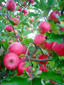 Harvest at Gowans Family Orchards 408618