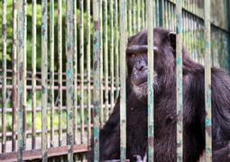 Zoo_chimpance_exterior_tancat_gabia.jpg