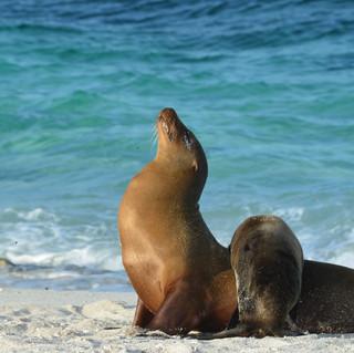 Seal Galapagos