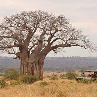 Baobab Tree Oliver's Camp Tarangire.jpg