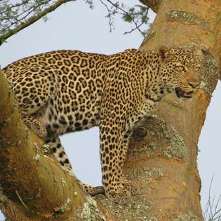 Leopard Queen Elizabeth National Park