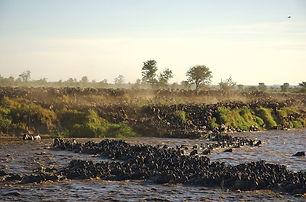 Sayari-Wildebeest-crossing-mara-river-Se