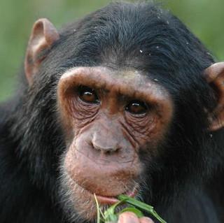 Chimp Kyambura