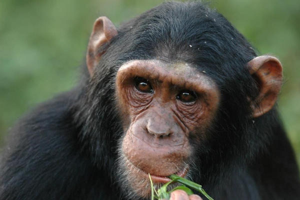 Chimp Kyambura