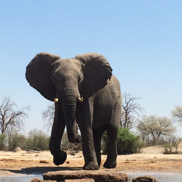 Elephant Hwange