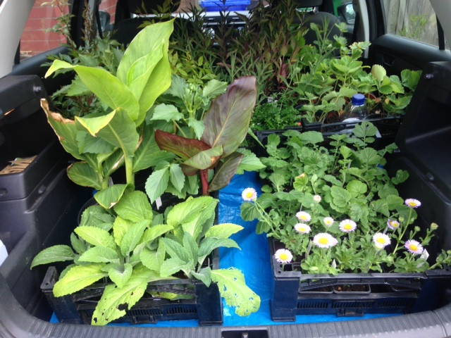 A lot of plants to go to Didsbury Festival tomorrow to be ready for the 11am start.  Fruit, veg, perennials, annuals, seeds and hanging baskets.  Do come and say hello.  Bring your own shopping bags if you can, please.