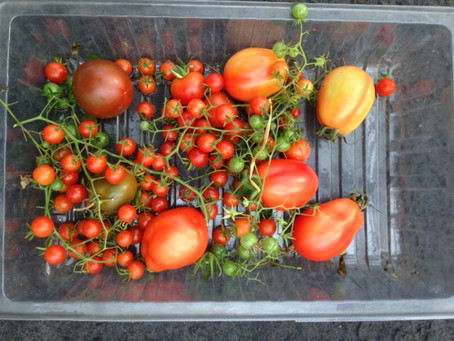 Colder today but glorious toms ..