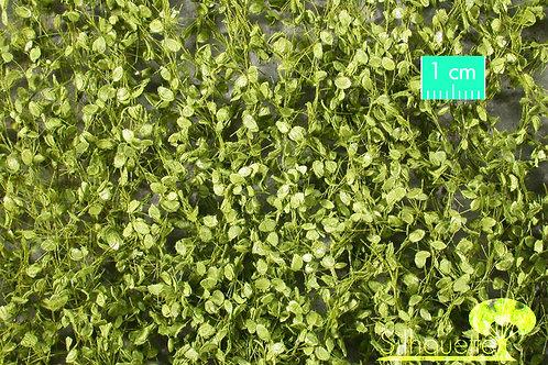 Large Beech Foliage Spring