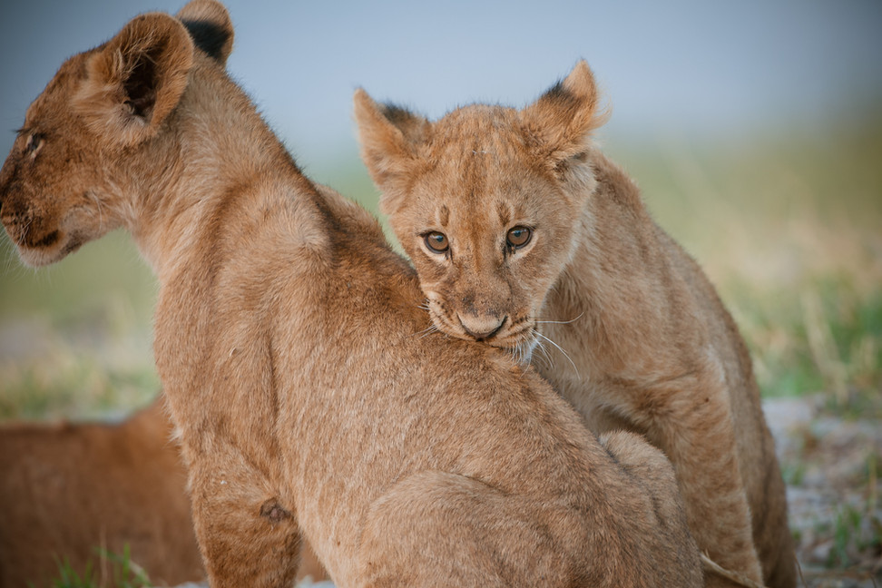 LIONS - 52.jpg